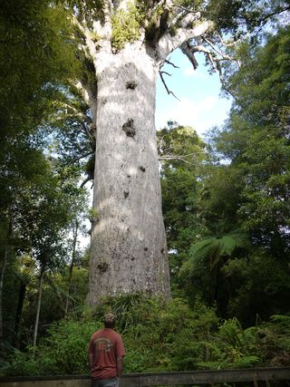 David and Goliath - the biggest tree in New Zealand