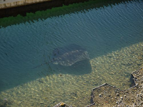 Manta Ray Picton Harbour